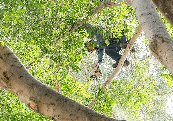 Arizona's Tree Trimming Experts